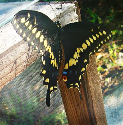 Butterflyblue3